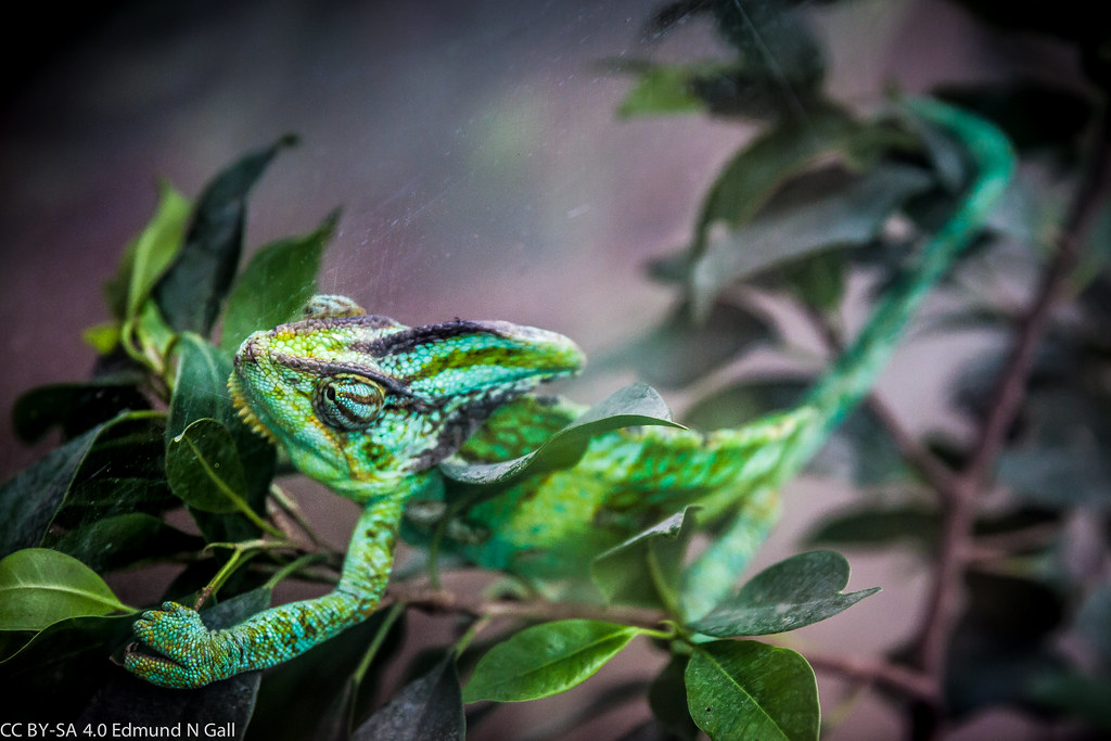 The Chameleon by Ellen Fiedler
